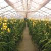 Orchid farming
